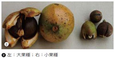 苦茶油(茶油)原料-油茶的栽培與利用